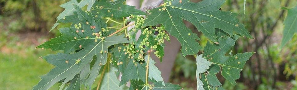 Tree Diseases & Pests   Saskatoon ca