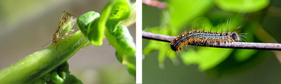 Cottony ash psyllid (left) and forest tent caterpillar (right)